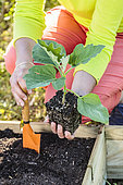 Planting an eggplant in spring, step by step.