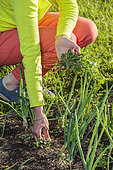 Weeding onions in summer: they don't like competition and need full sunshine.