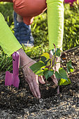 Planting a sweet potato root ball in the spring
