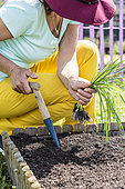 Woman transplanting leeks in a small square vegetable garden.