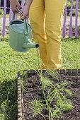 Woman transplanting a vegetable garden fennel (Florence fennel) plant in a square vegetable garden in June.