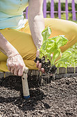 Woman transplanting romaine lettuce plants in a square vegetable garden in May-June.
