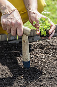 Woman transplanting a clod of parsley in a square vegetable garden in May.