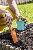 Plantation d'un plant de pastèque 'Sugar Baby' dans un coin potager en carré, à la mi-mai.