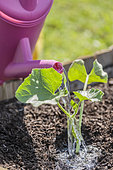 Plant a melon plant in a square vegetable garden in mid-May.