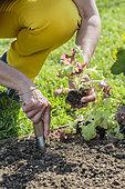 Repiquage de plant de laitue de type 'Feuille de chêne', en mai.