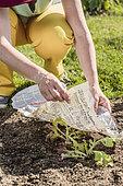Ombrage de plant de laitue de type 'Feuille de chêne', en mai avec un papier journal.