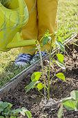 Planting a chilli pepper 'Sucette de Provence'.