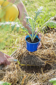 Planting an artichoke plant in spring.