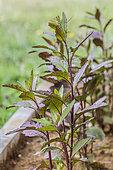 Variété d'épazote pourpre, Chenopodium ambrosioides (=Dysphania ambrosioides) 'Oaxaca Red'