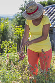 Woman pruning a 'Nazareth' sage in summer: blossoms faded of a sage for culinary use in summer.