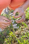 Removal of crispy tomato flower to avoid deformed fruit.