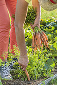 Harvest of 'Touchon' carrots, a variety recognizable by its fine, tapered tip.