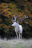 Red Deer (Cervus elaphus), white stag in autumn, Jaegersborg, Denmark, Scandinavia, Europe