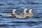 Ruddy-headed geese, coastal water in Bleaker island, Falkland, january 2018