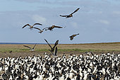 Brown skuas and Dolphin gulls attacking Imperial cormorant to the nesting colony, Bleaker island, Falkland, January 2018