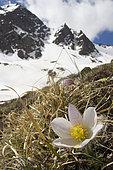 Alpine anemone (Pulsatilla alpina) in spring, Briançonnais, Alps, France
