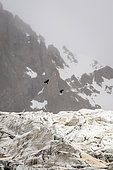 Alpine Chough (Pyrrhocorax graculus) in flight over the Glacier Blanc, Ecrins National Park, Alps, France