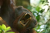 Bornean Orangutan (Pongo pygmaeus), male, Tanjung Puting National Park, Central Kalimantan, Borneo, Indonesia, Asia