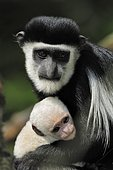 Guereza, Mantled guereza or Black and White Colobus Monkey (Colobus guereza), adolescent with baby, African species, captive, Netherlands, Europe