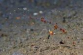 Juvenile ornate ghost pipefish (Solenostomus paradoxus), postpelagic stage, Milne Bay, Papua New Guinea, Oceania