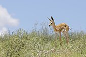 Springbok (Antidorcas marsupialis), young male, standing on rugged ground, alert, Kgalagadi Transfrontier Park, Northern Cape, South Africa, Africa