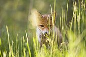 Red fox (Vulpes vulpes), cub in grass, Germany, Europe