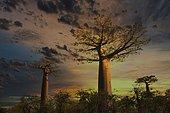 Baobab (Adansonia grandidieri) at sunset, Morondava, Madagascar, Africa