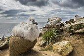 Black-browed Albatross (Thalassarche melanophris) chick on its nest, Saunders Island, Falkland Islands, South America