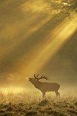 Enormous Red deer (Cervus elaphus), roars in the rut, sunrise with sunrays in early fog, Jägersborg, Denmark, Europe