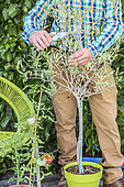 Pruning of a potted olive tree at the end of winter: the branch is shortened to keep it compact.