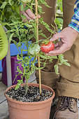 Harvest of a tomato grown in a pot on a terrace.