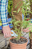 Pruning of a tomato plant grown in a pot on a terrace.