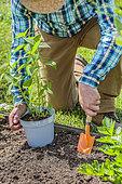 Man planting Jerusalem artichokes in spring.