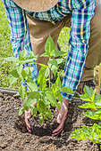 Man planting Jerusalem artichokes in spring.Placement of the rootball in the hole.