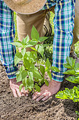 Man planting Jerusalem artichokes in spring. Compaction at the foot.