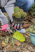Planting a cactus (Echinocereus spachianus, Echinopsis spachiana) in spring.