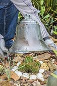 Protection d'un cactus (Echinocereus spachianus, Echinopsis spachiana). Femme protégeant un cactus avec une cloche à l'approche de l'hiver