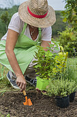 Woman planting a plant of lemon balm in the vegetable garden in springtime