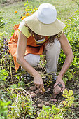 Harvest of potatoes 'Sarpo Axona' in summer.