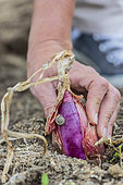 Onion 'Rouge de Simiane' harvested in summer when ripe.