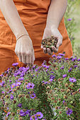Cleaning of faded 'Marina Wolkonsky' autumn aster flowers (flower heads) to make the bloom last.