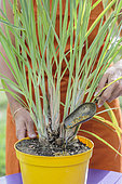 The true lemongrass (Cymbopogon citratus) is a grass to be cultivated in pot because it is frozen.