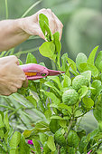 Shorten a straight shoot of combava (Citrus hystrix) with pruning shears.