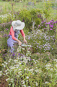 Woman picking flowers in an aster bed in autumn.