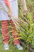 Cleaning of old daylily leaves in autumn.