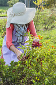 Woman harvesting chilli peppers 'Sucette de Provence'.