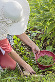 Woman harvesting spinach leaves 'Lagos F1'.