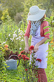 Woman cleaning faded dahlia flowers in September.