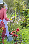 Woman picking bouquet flowers in the garden in September.